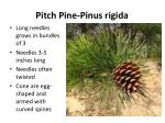 pitch pine pinus rigida