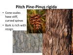 pitch pine pinus rigida1