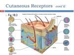 cutaneous receptors cont d1