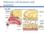 olfactory cell location and anatomy