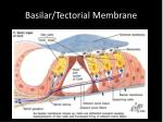 basilar tectorial membrane