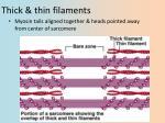 thick thin filaments