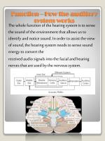 function how the auditory system works