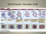 cell division somatic cells