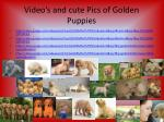video s and cute pics of golden puppies