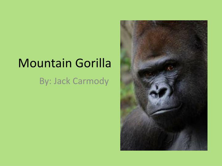 mountain gorilla n.