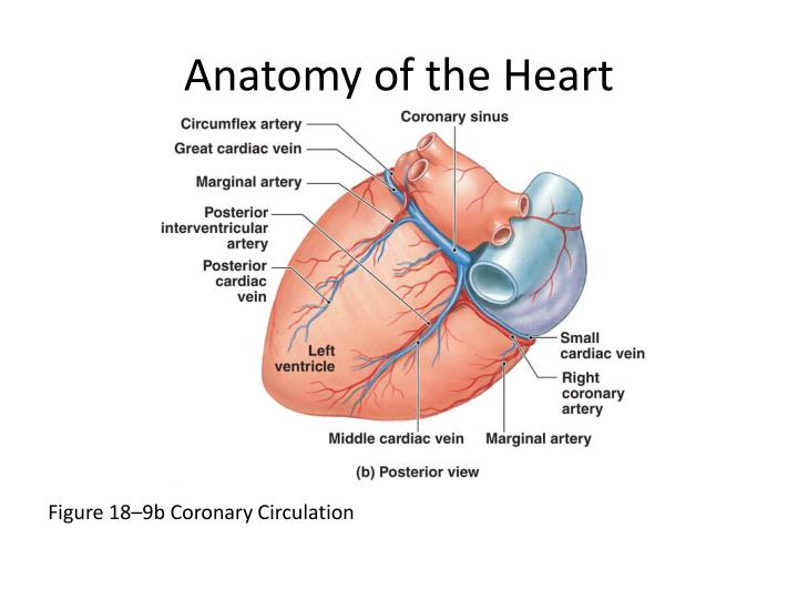 Ppt Anatomy Of The Heart Powerpoint Presentation Id2243802