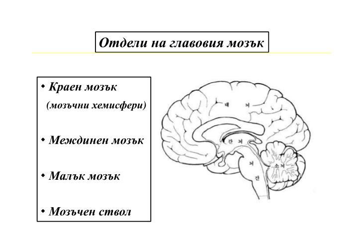 Отдели на главовия мозък
