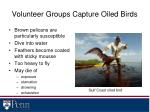 volunteer groups capture oiled birds
