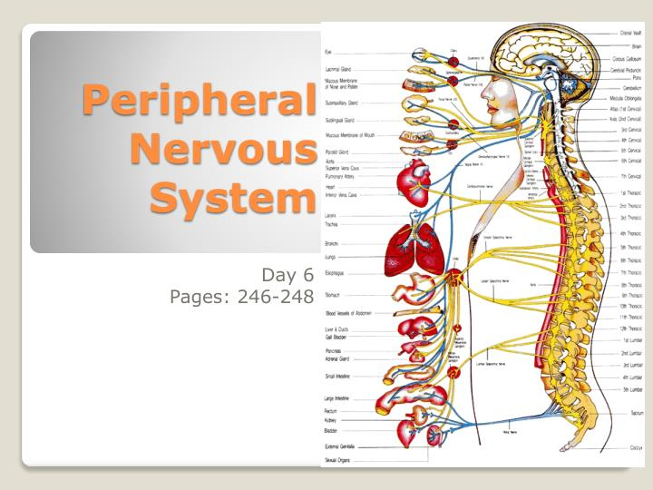 peripheral nervous system n.