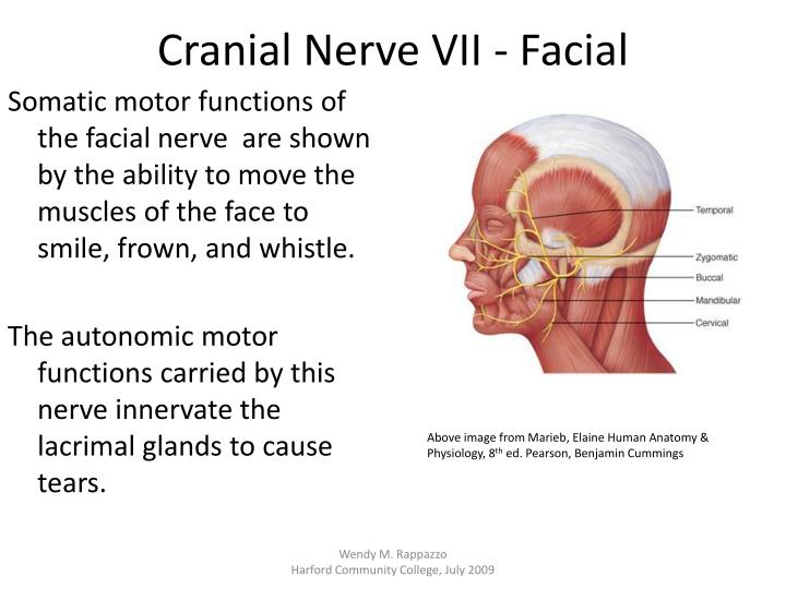 PPT - Cranial Nerves PowerPoint Presentation - ID:2245105