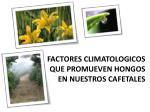 factores climatologicos que promueven hongos en nuestros cafetales