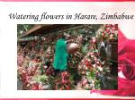 watering flowers in harare zimbabwe