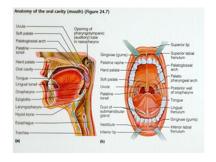 Ppt Oral Cavity And Pharynx Powerpoint Presentation Id2246526