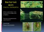 bacterial wilt erwinia tracheiphila