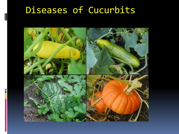diseases of cucurbits n.