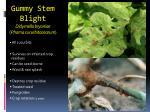 gummy stem blight didymella bryoniae phoma cucurbitacearum