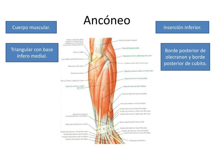 PPT - Porción posterior del compartimiento posterior del antebrazo ...