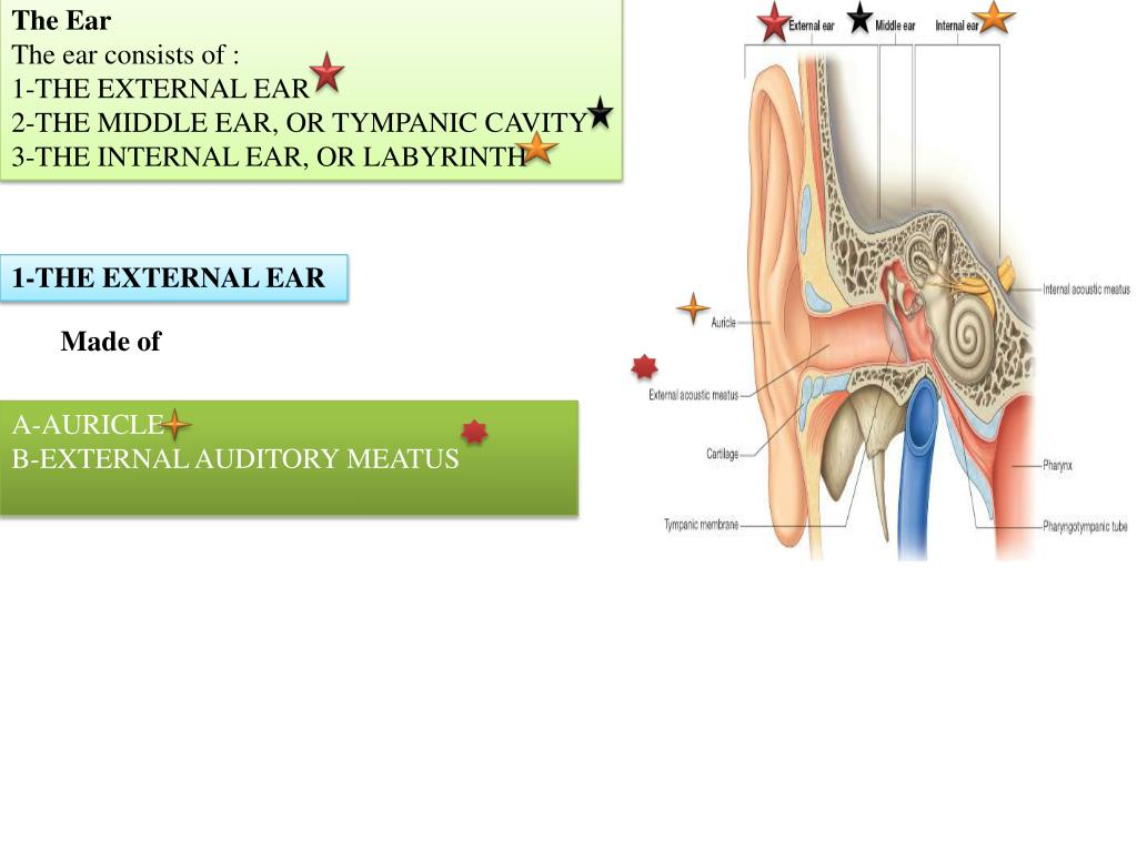 PPT - The Ear The ear consists of : 1-THE EXTERNAL EAR 2-THE MIDDLE ...