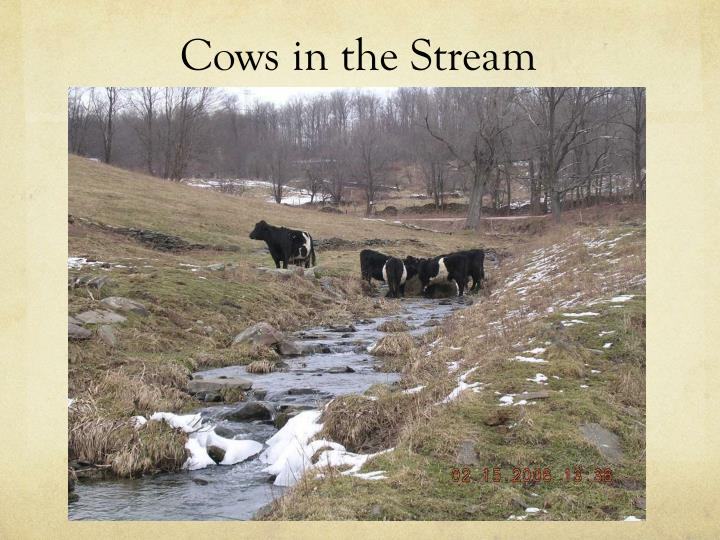 Cows in the Stream