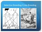 selective breeding cross breeding