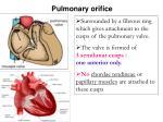 pulmonary orifice