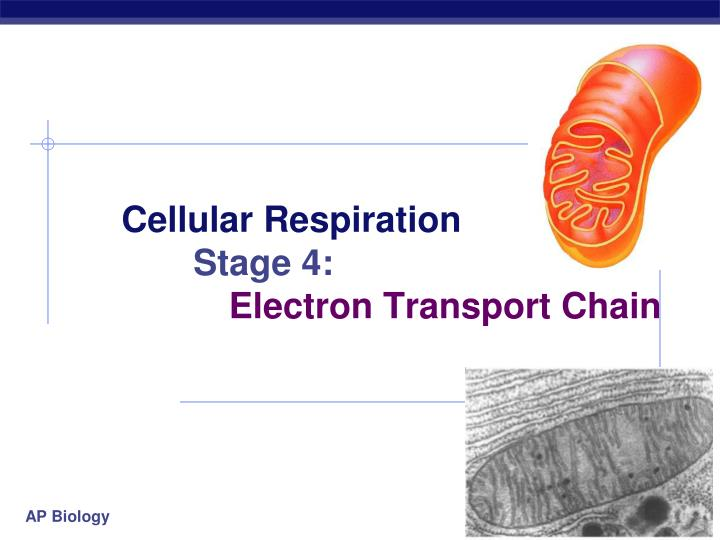 cellular respiration stage 4 electron transport chain n.