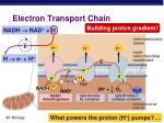 electron transport chain1