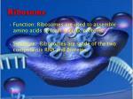 ribosome1