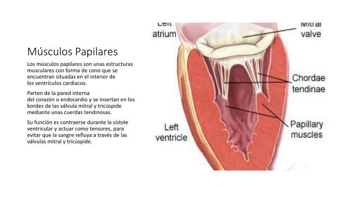 PPT - Sistema Cardiaco PowerPoint Presentation - ID:2249033