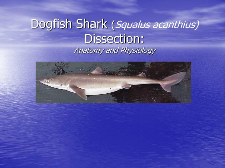 dogfish shark squalus acanthius dissection anatomy and physiology n.