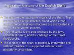 respiratory anatomy of the dogfish shark