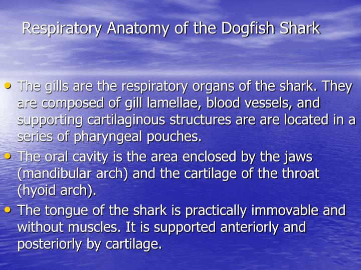 PPT - Dogfish Shark ( Squalus acanthius) Dissection: Anatomy and ...