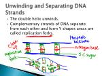 unwinding and separating dna strands