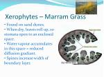 xerophytes marram grass