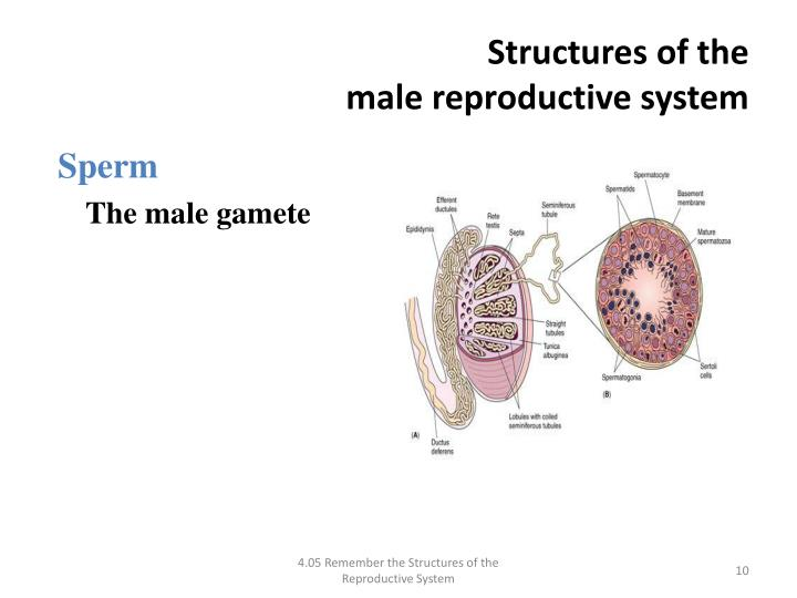 structure of the male reproductive system The functions of the male reproductive system a steroid hormone that plays a key role in male reproductive development the major structure of the penis.