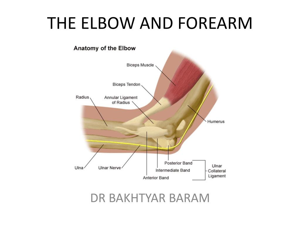 Ppt The Elbow And Forearm Powerpoint Presentation Id2252190