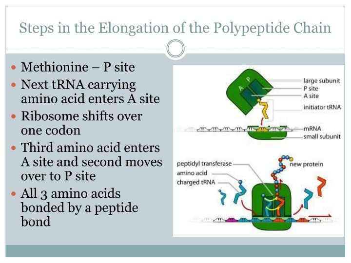 Steps in the Elongation of the Polypeptide Chain