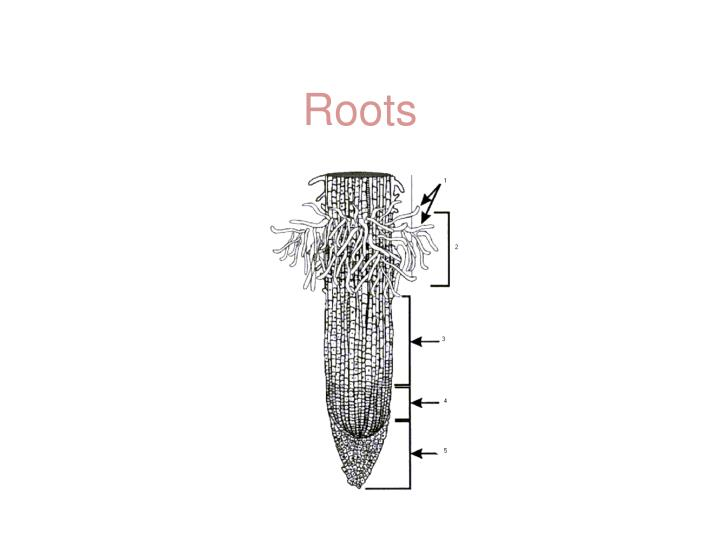 roots n.