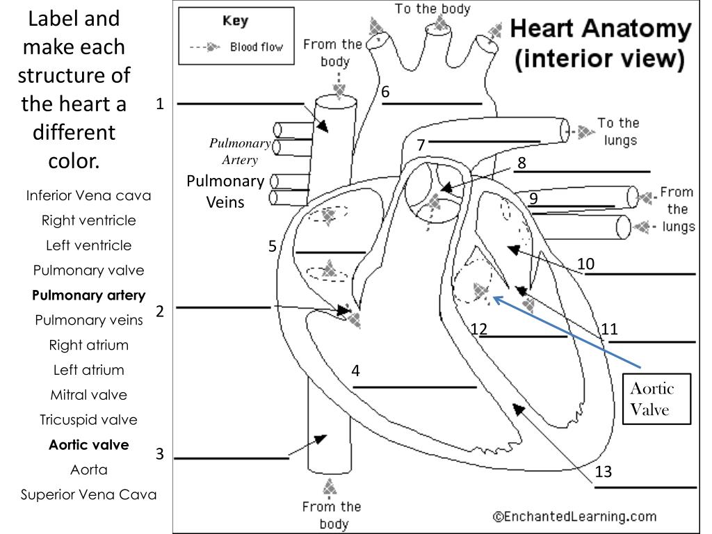 PPT - Label and make each structure of the heart a different