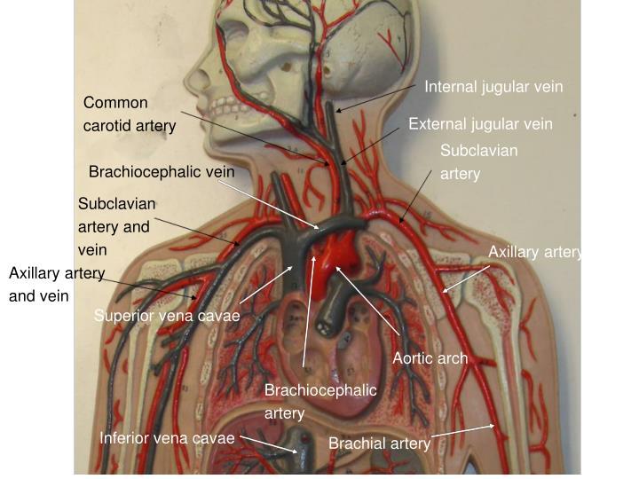 Internal jugular vein