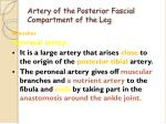 artery of the posterior fascial compartment of the leg2