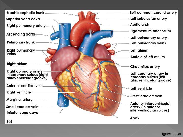 Left common carotid artery