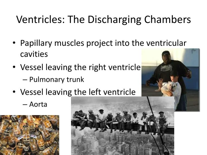 Ventricles: The Discharging Chambers
