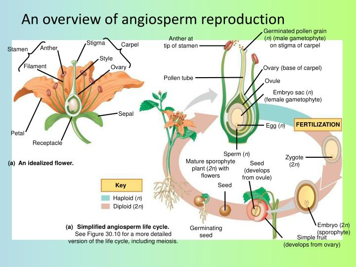 An overview of angiosperm reproduction