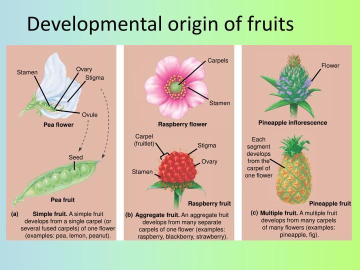 Developmental origin of fruits