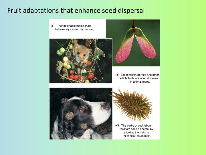 Fruit adaptations that enhance seed dispersal