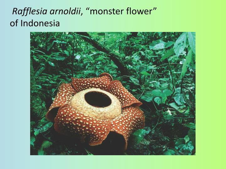 Rafflesia arnoldii monster flower of indonesia