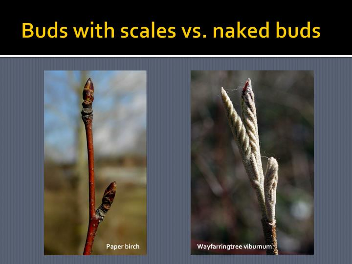 Buds with scales vs. naked buds