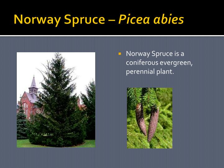 Norway Spruce –